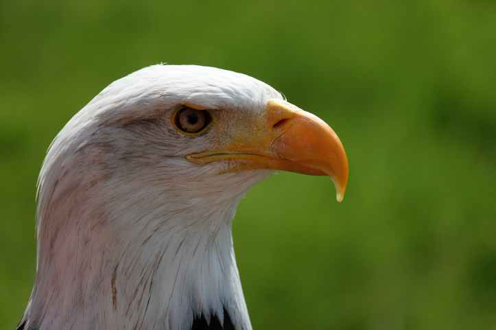 bald-eagle-portrait-white-tailed-eagle-adler-38998.jpeg